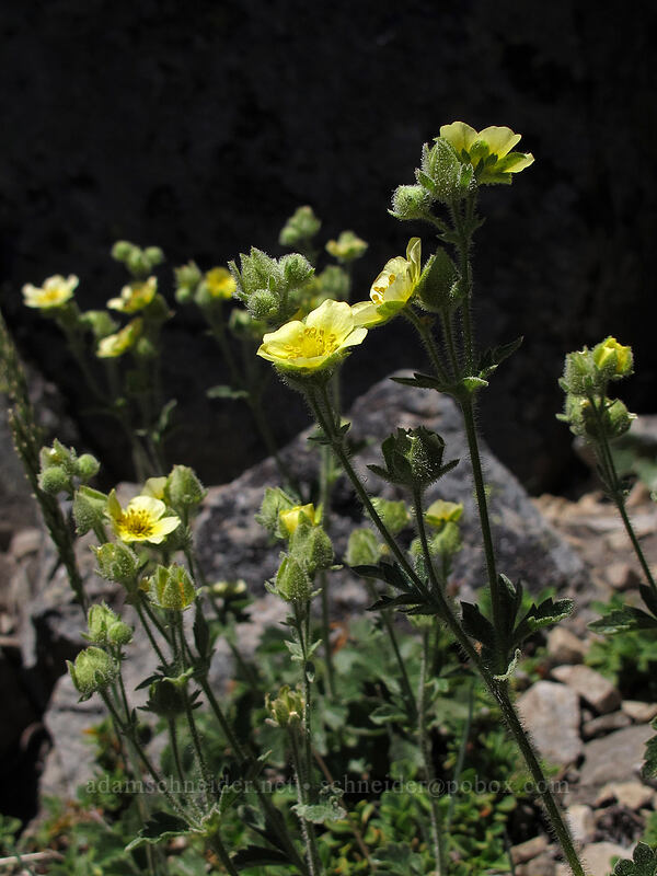 sticky cinquefoil (Drymocallis glandulosa (Potentilla glandulosa)) [Mt. Thielsen Trail, Mt. Thielsen Wilderness, Oregon]