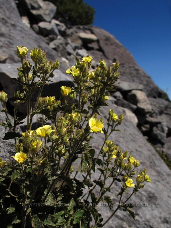 sticky cinquefoil (Drymocallis glandulosa (Potentilla glandulosa)) [Mt. Thielsen Trail, Mt. Thielsen Wilderness, Oregon]