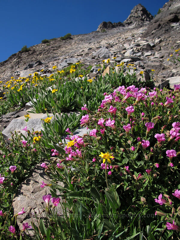 Lewis' monkeyflower & hairy arnica (Erythranthe lewisii (Mimulus lewisii), Arnica mollis) [Mt. Thielsen's southwest face, Mt. Thielsen Wilderness, Oregon]