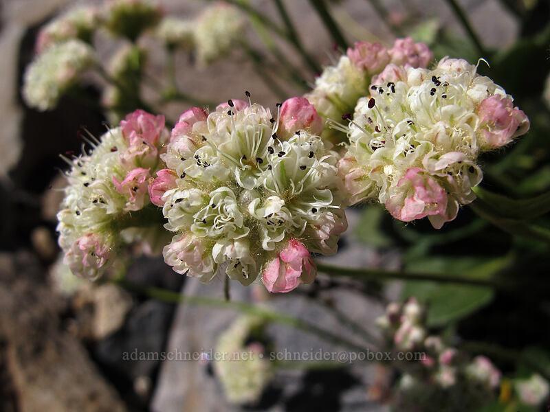 alpine buckwheat (Eriogonum pyrolifolium) [Mt. Thielsen's southwest face, Mt. Thielsen Wilderness, Oregon]