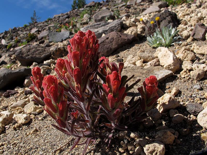 cobwebby paintbrush (Castilleja arachnoidea) [Mt. Thielsen's southwest face, Mt. Thielsen Wilderness, Oregon]