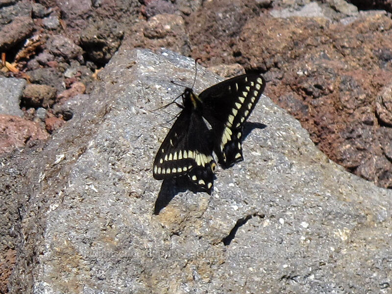 Indra swallowtail butterfly (Papilio indra) [south ridge of Three-Fingered Jack, Mt. Jefferson Wilderness, Oregon]