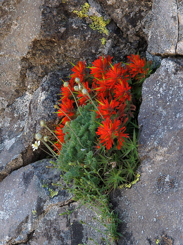 paintbrush & anemone (Castilleja rupicola, Anemone drummondii) [south ridge of Three-Fingered Jack, Mt. Jefferson Wilderness, Oregon]