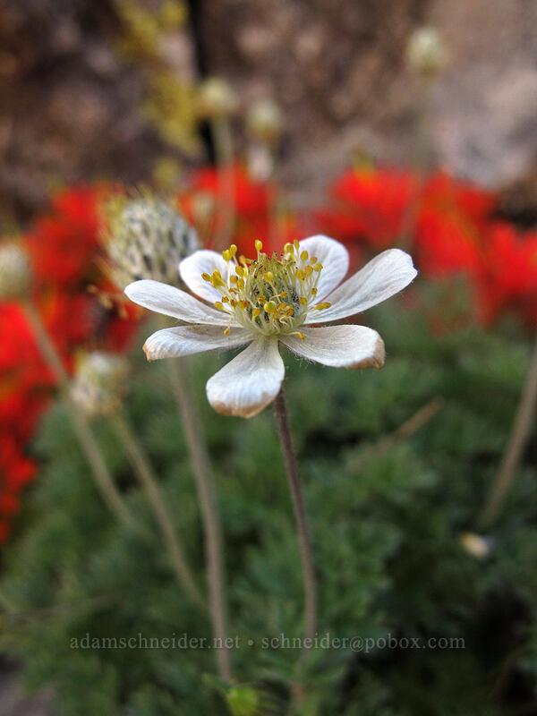 Drummond's anemone (Anemone drummondii) [south ridge of Three-Fingered Jack, Mt. Jefferson Wilderness, Oregon]