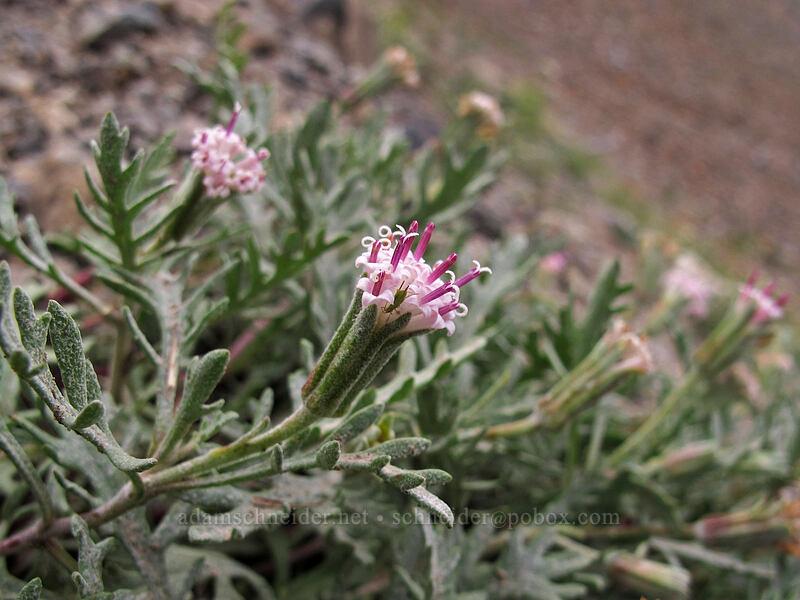 Thompson's pincushion (Chaenactis thompsonii) [Longs Pass Trail, Wenatchee National Forest, Washington]