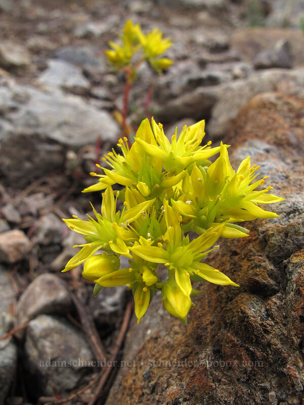 stonecrop (Sedum lanceolatum (?)) [Longs Pass Trail, Wenatchee National Forest, Washington]