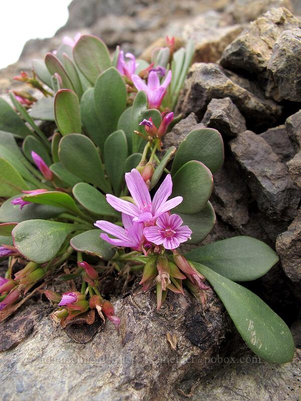 Wenatchee spring-beauty (Claytonia megarhiza var. nivalis) [Ingalls Way Trail, Alpine Lakes Wilderness, Washington]
