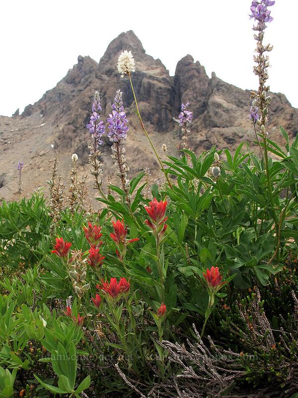 wildflowers & Ingalls Peak (Lupinus latifolius, Polygonum bistortoides, Castilleja miniata) [Lake Ingalls, Alpine Lakes Wilderness, Washington]