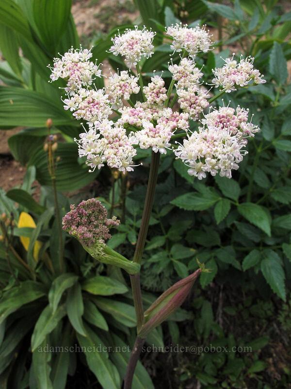 sharp-tooth angelica (Angelica arguta) [Ingalls Way Trail, Wenatchee National Forest, Washington]