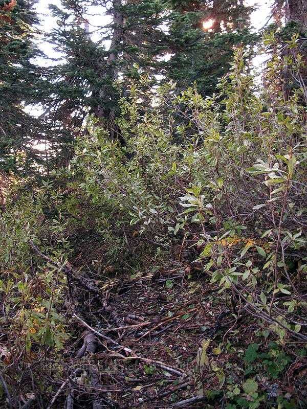 "ill-defined ""trail"" [Bird Mountain, Indian Heaven Wilderness, Washington]"