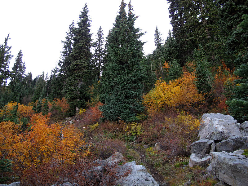 colorful mountain-ashes (Sorbus sitchensis) [Cultus Creek Trail, Indian Heaven Wilderness, Washington]