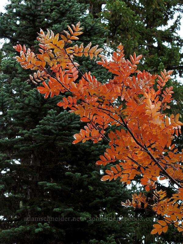 Sitka mountain-ash leaves (Sorbus sitchensis) [Cultus Creek Trail, Indian Heaven Wilderness, Washington]