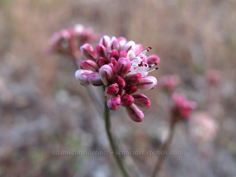 buckwheat (Eriogonum sp.) [Boundary Trail, Gifford Pinchot National Forest, Washington]
