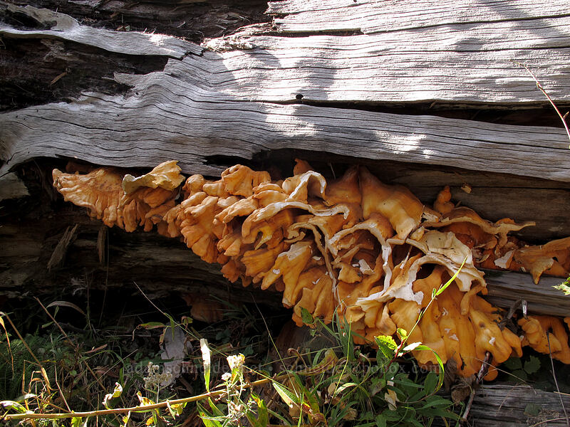 fungus [Boundary Trail, Gifford Pinchot National Forest, Washington]