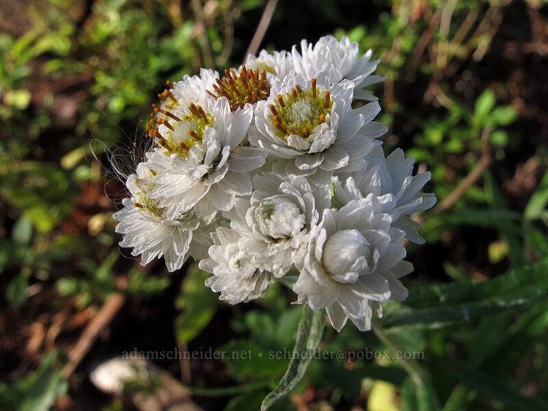 pearly everlasting (Anaphalis margaritacea) [Boundary Trail, Mt. St. Helens National Volcanic Monument, Washington]