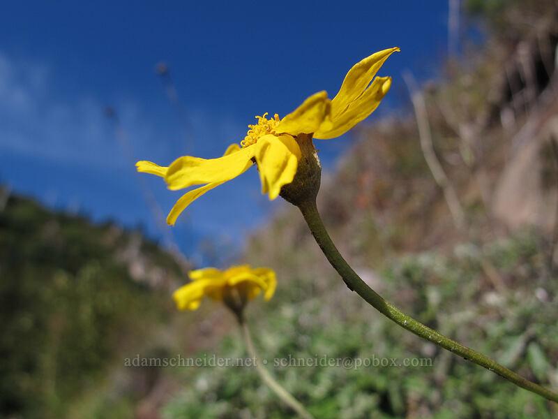 Oregon sunshine (Eriophyllum lanatum) [Lakes Trail, Mt. St. Helens National Volcanic Monument, Washington]