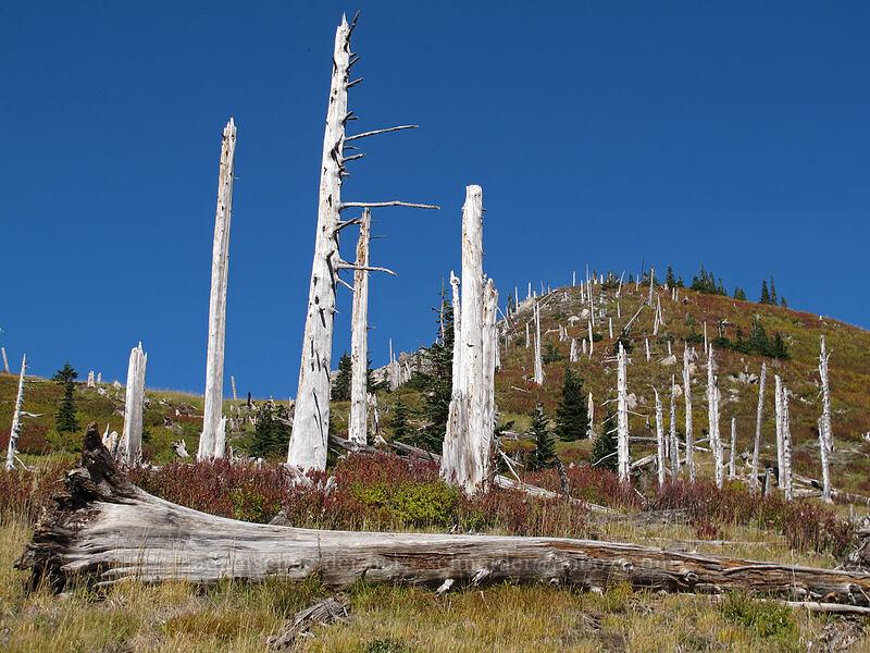 eruption-killed trees [Mt. Whittier Trail, Mt. St. Helens National Volcanic Monument, Washington]