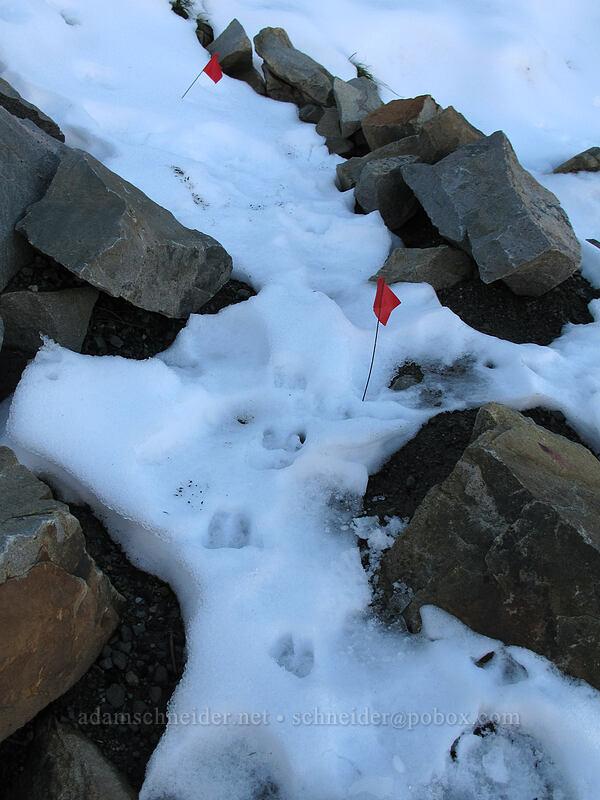goat tracks & trail flags [Mt. Whittier Trail, Mt. St. Helens National Volcanic Monument, Washington]