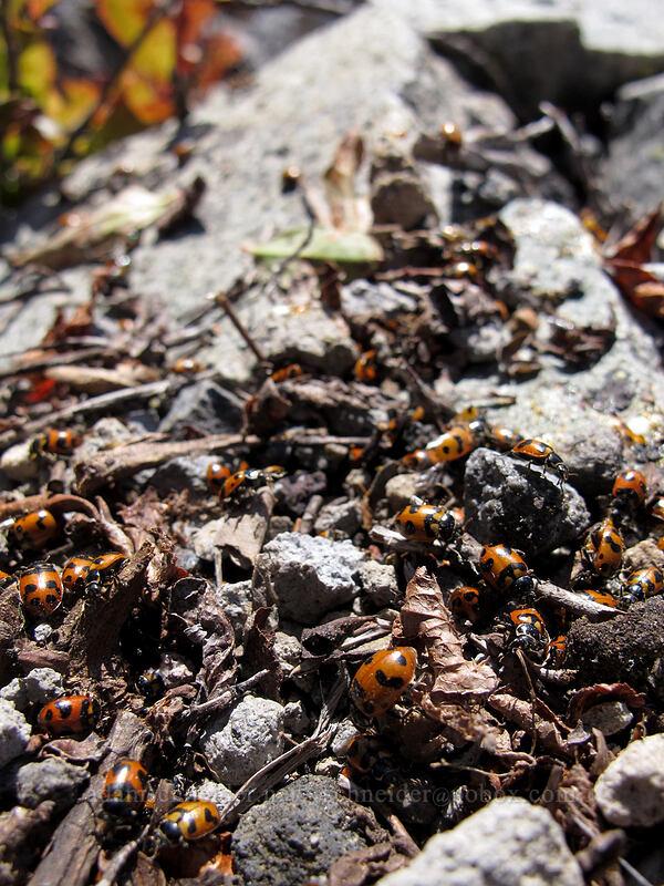 ladybugs (Oregon lady beetles) (Hippodamia oregonensis) [Mt. Whittier summit, Mt. St. Helens National Volcanic Monument, Washington]