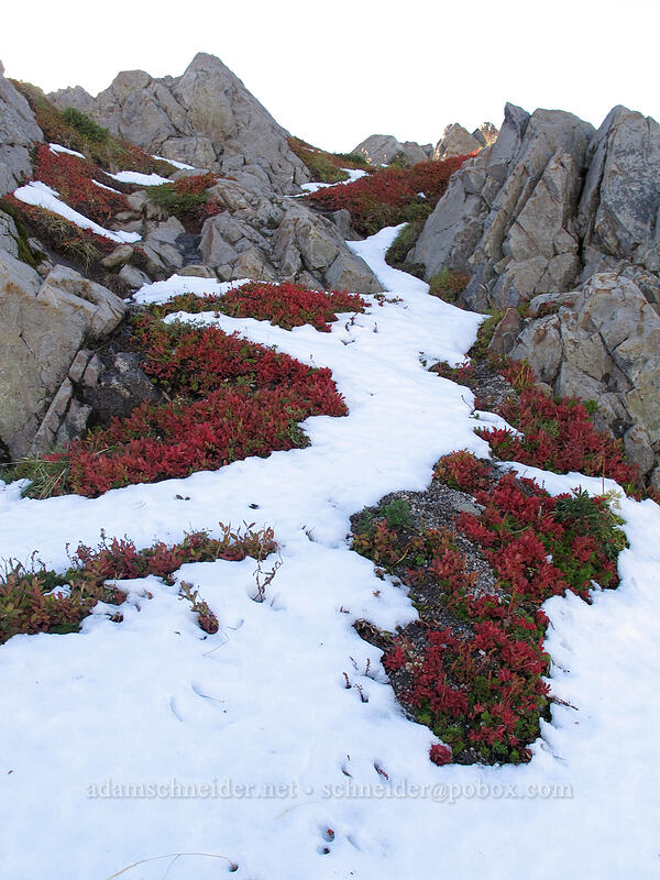 snow & huckleberry leaves [Mt. Teragram, Mt. St. Helens National Volcanic Monument, Washington]