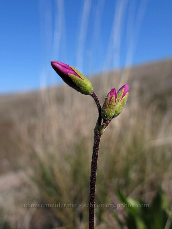 Cusick's shooting star (Dodecatheon cusickii (Primula pauciflora var. cusickii)) [Ferry Springs Trail, Deschutes River State Recreation Area, Oregon]
