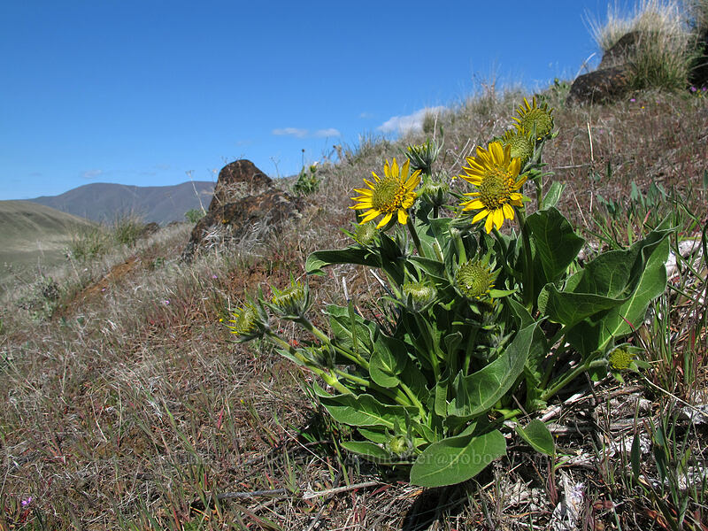 balsamroot (Balsamorhiza sp.) [Ferry Springs Trail, Deschutes River State Recreation Area, Oregon]