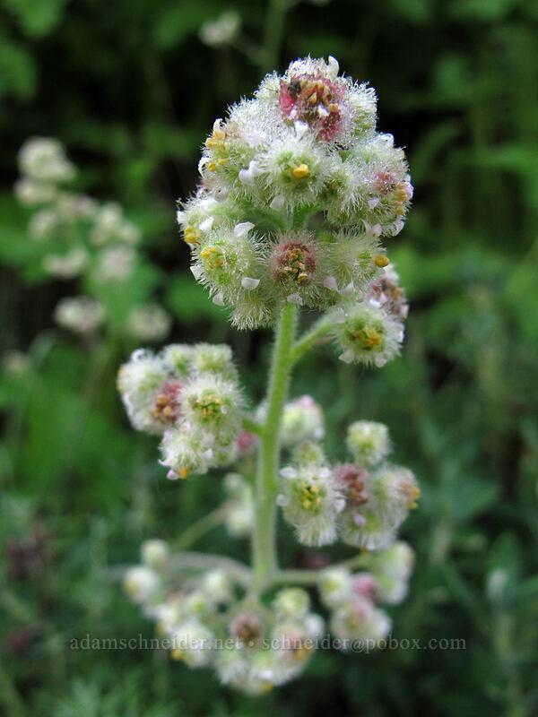 seaside alumroot (Heuchera pilosissima) [Soberanes Canyon Trail, Garrapata State Park, California]