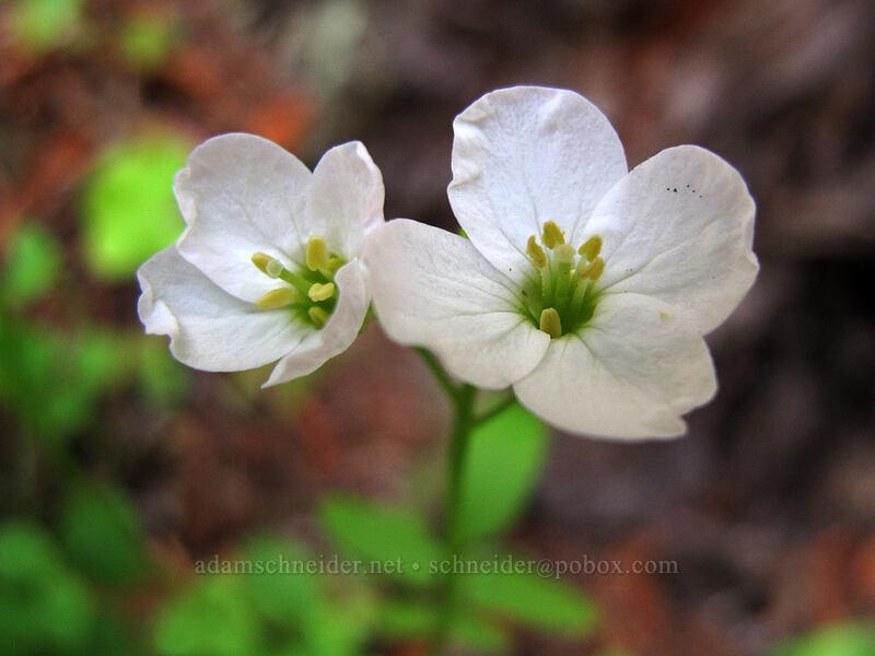 California toothwort (Cardamine californica) [Soberanes Canyon Trail, Garrapata State Park, California]