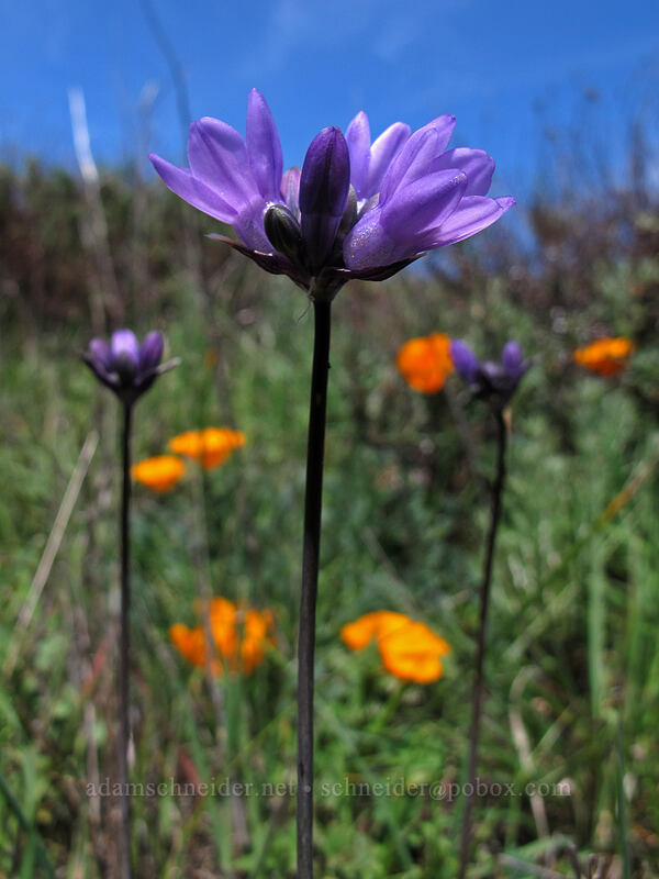 blue dicks (and California poppies) (Dichelostemma capitatum, Eschscholzia californica) [Rocky Ridge Trail, Garrapata State Park, California]
