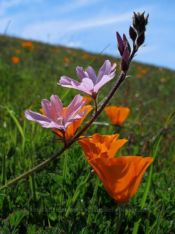 dwarf checkerbloom & California poppies (Sidalcea malviflora, Eschscholzia californica) [Doud Peak, Garrapata State Park, California]