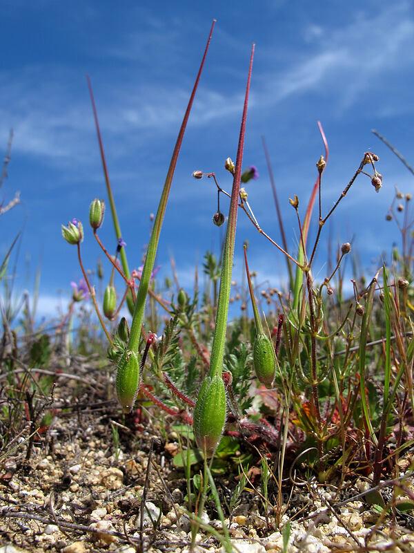 long-beaked filaree (Erodium botrys) [Doud Peak, Garrapata State Park, California]