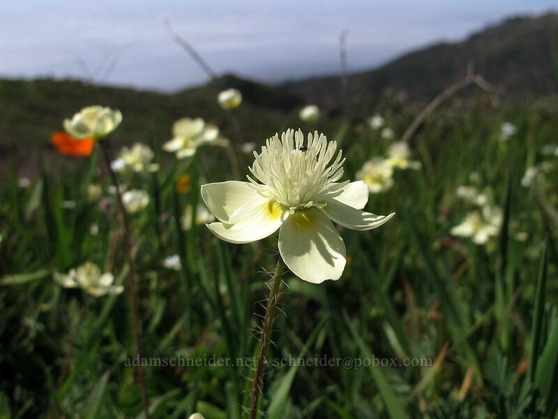 cream cups (Platystemon californicus) [Rocky Ridge Trail, Garrapata State Park, California]