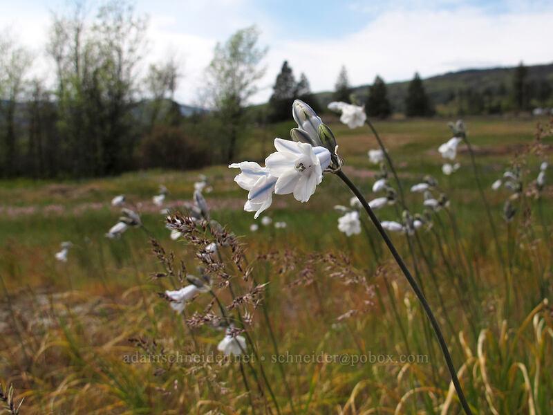 bi-colored cluster lilies (Triteleia grandiflora) [Catherine Creek, Klickitat County, Washington]