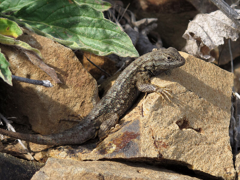 western fence lizard (Sceloporus occidentalis occidentalis) [Dalles Mountain Road, Columbia Hills State Park, Washington]