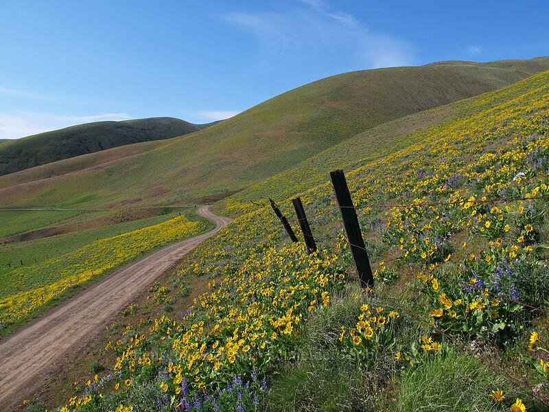 balsamroot & lupines (Balsamorhiza careyana, Lupinus latifolius) [Dalles Mountain Road, Columbia Hills State Park, Washington]