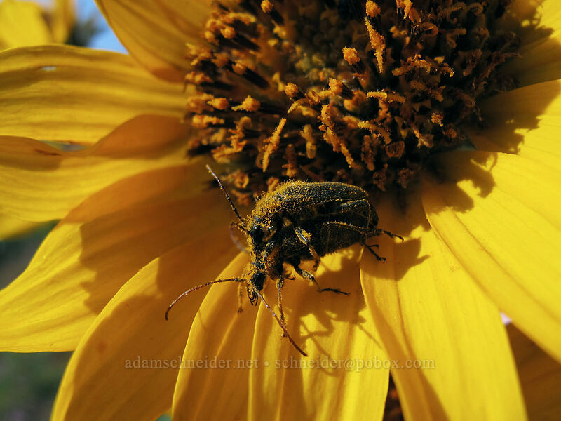 pollen-covered beetles on balsamroot [Dalles Mountain Road, Columbia Hills State Park, Washington]