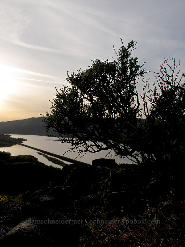 phlox bonsai (Phlox hoodii) [Tom McCall Preserve, Wasco County, Oregon]