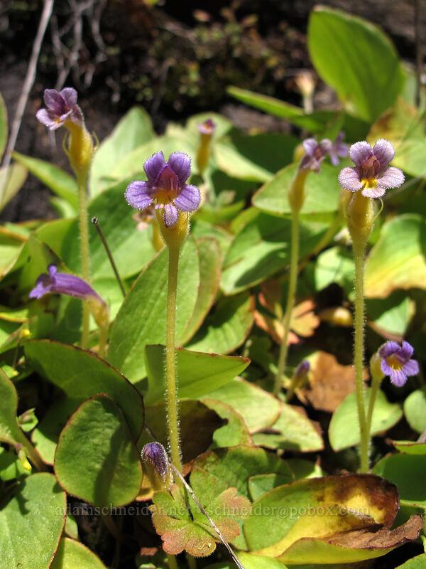 naked broomrape (Orobanche uniflora) [Klickitat Trail, Klickitat County, Washington]