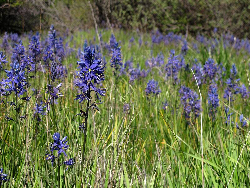 camas (Camassia quamash) [Klickitat Trail, Klickitat County, Washington]