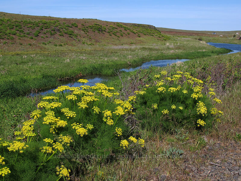 pungent desert parsley & Swale Creek (Lomatium grayi) [Klickitat Trail, Klickitat County, Washington]