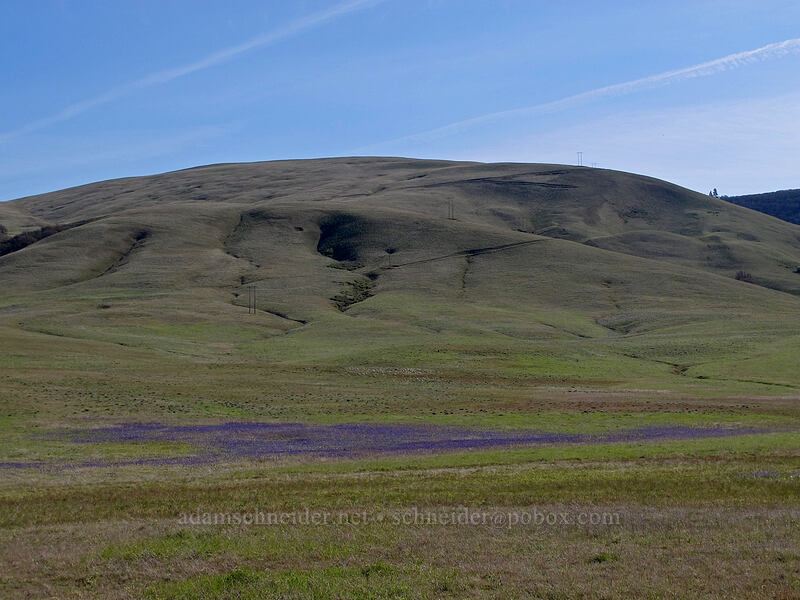 camas & the Columbia Hills (Camassia quamash) [Centerville Highway, Klickitat County, Washington]