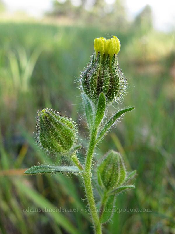 tarweed (Madia gracilis) [Tracy Hill, Klickitat County, Washington]