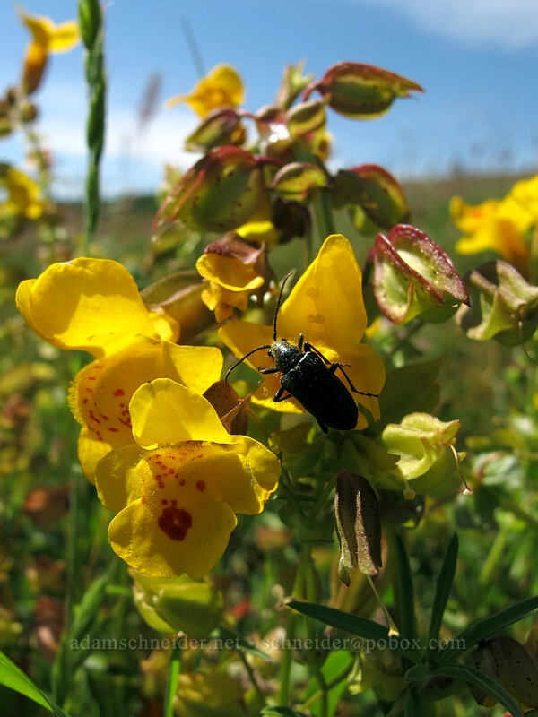 beetle on monkeyflower (Erythranthe sp. (Mimulus sp.)) [Tracy Hill, Klickitat County, Washington]