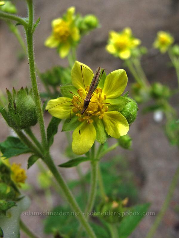 sticky cinquefoil (and a stilt bug) (Drymocallis glandulosa (Potentilla glandulosa), Neoneides muticus) [Eagle Creek Trail, Columbia River Gorge, Oregon]