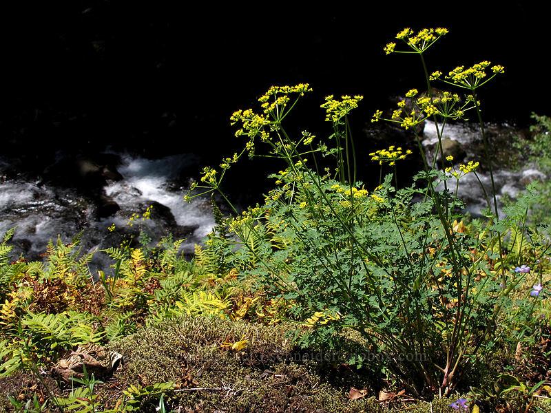 fern-leaf desert parsley (Lomatium dissectum) [Eagle Creek Trail, Columbia River Gorge, Oregon]