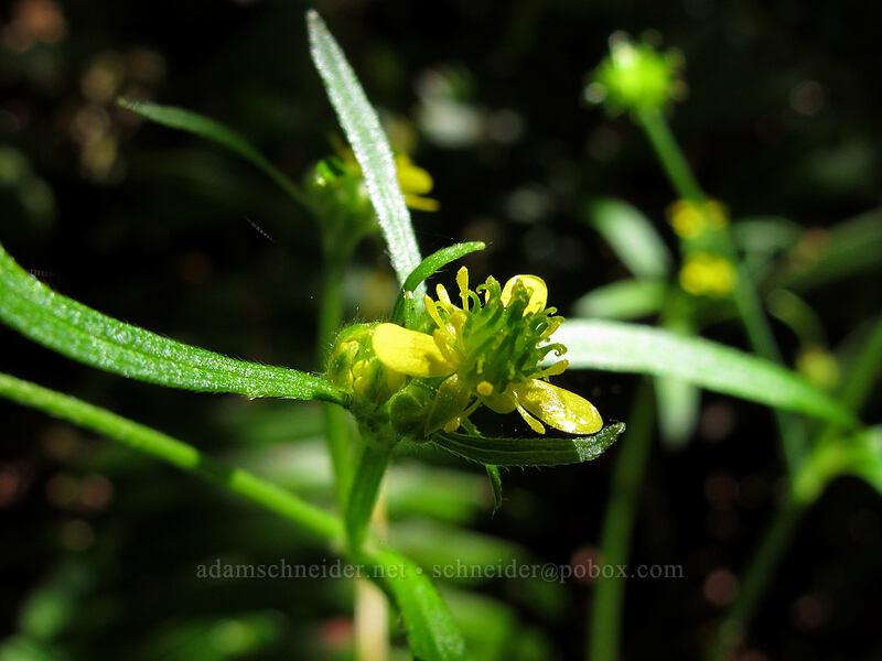 little buttercup (Ranunculus uncinatus) [Eagle Creek Trail, Columbia River Gorge, Oregon]
