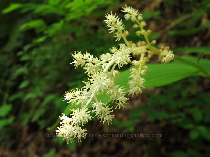false solomon's-seal (Maianthemum racemosum) [Eagle Creek Trail, Columbia River Gorge, Oregon]