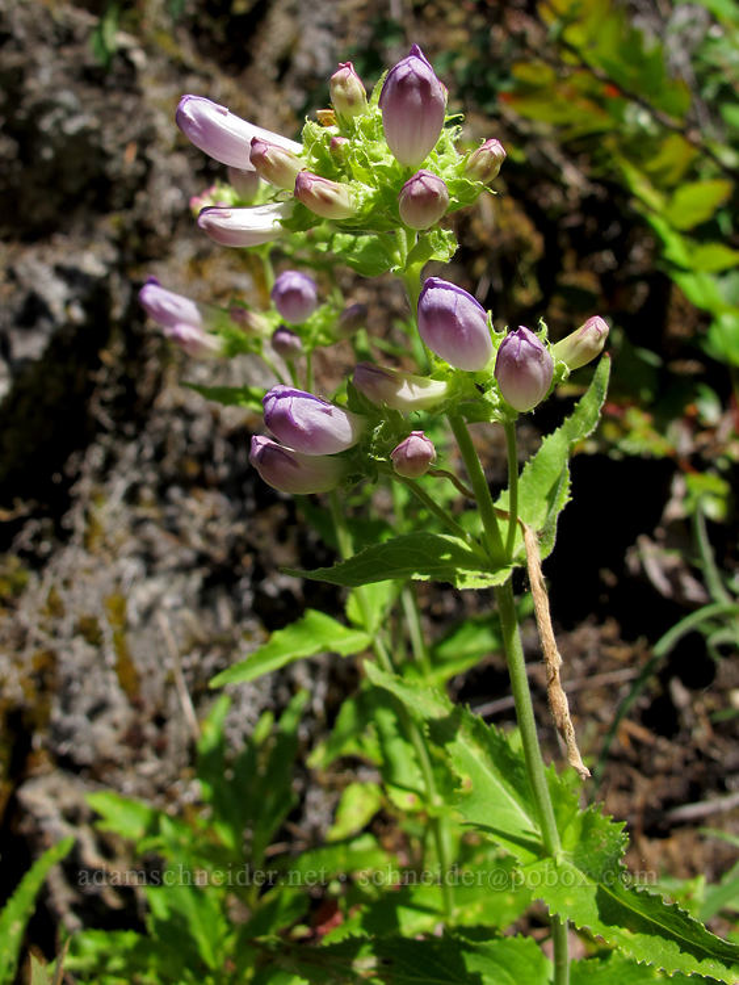 Cascade penstemon (Penstemon serrulatus) [Elk Mountain Trail, Tillamook State Forest, Oregon]