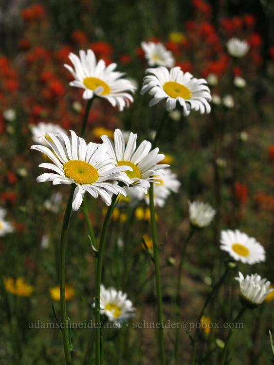 ox-eye daisies (Chrysanthemum leucanthemum) [Elk Mountain Trail, Tillamook State Forest, Oregon]