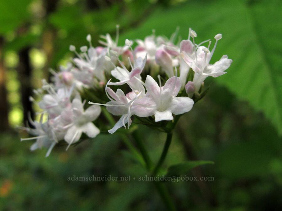 Scouler's valerian (Valeriana scouleri (Valeriana sitchensis ssp. scouleri, Valeriana hookeri)) [Elk Mountain Trail, Tillamook State Forest, Oregon]